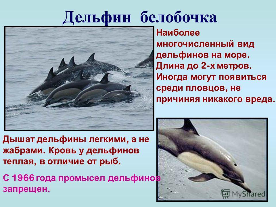 Дельфин афалина Самый большой представитель вида на Черном море. Достигает 3-4 метров в длину. Легко поддается дрессировке. Дельфины – млекопитающие. Самка рождает 1-2- х детенышей и выкармливает их молоком. Дельфин афалина занесен в международную Кр