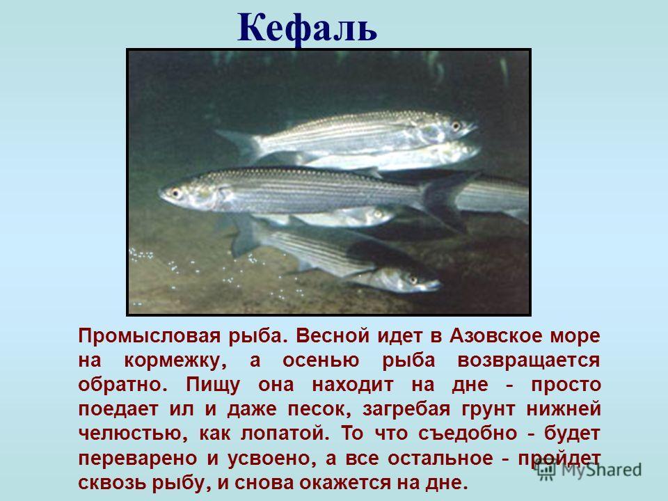 Черноморский лосось ( кумжа ) Относится к ценным видам рыб. Достигает в длину 1 м и более. Для нереста заходит в горные реки. Обычно рыба имеет темно - зеленую окраску, но в преднерестовый период приобретает золотистый оттенок. Занесен в Красную книг