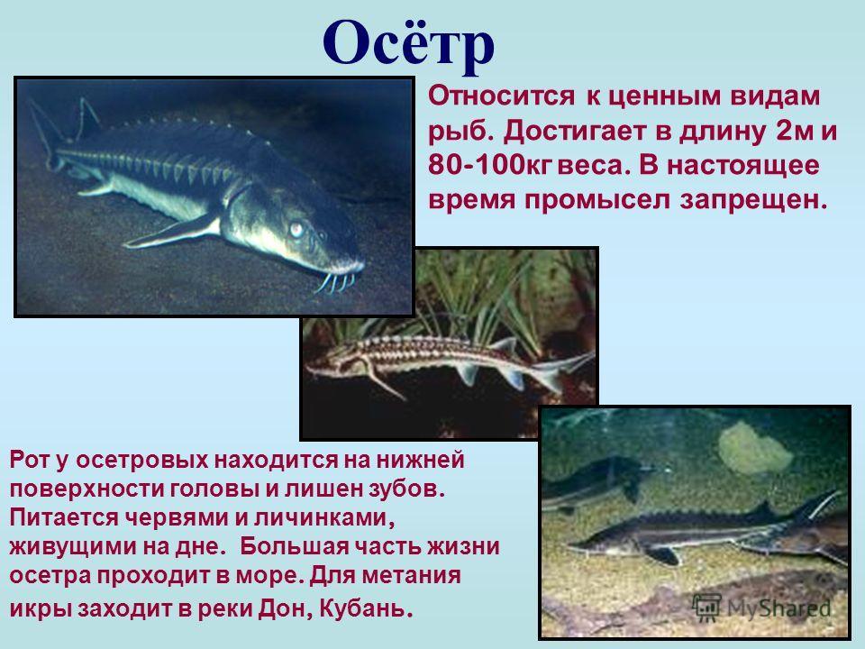 Кефаль Промысловая рыба. Весной идет в Азовское море на кормежку, а осенью рыба возвращается обратно. Пищу она находит на дне - просто поедает ил и даже песок, загребая грунт нижней челюстью, как лопатой. То что съедобно - будет переварено и усвоено,