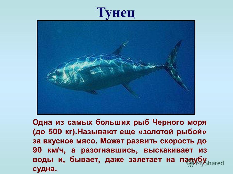 Барабуля ( султанка ) Небольшая промысловая рыба. Добывает пищу, разрывая твердыми усиками грунт дна. Султанкой называют за алый отблеск спинки, появляющийся при ее извлечении из воды.