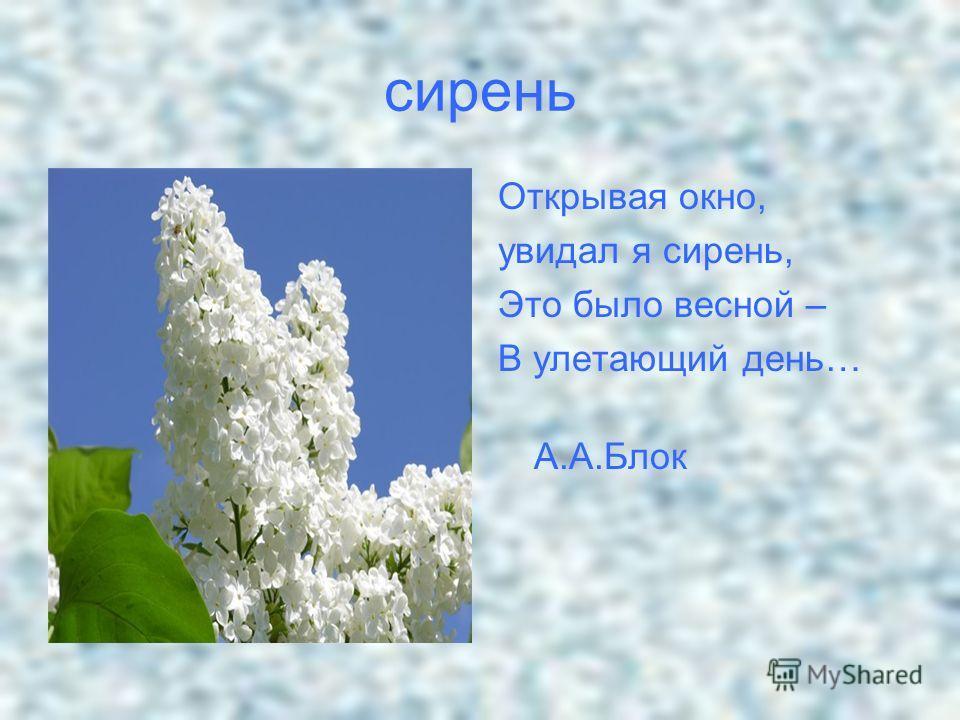 сирень Открывая окно, увидал я сирень, Это было весной – В улетающий день… А.А.Блок