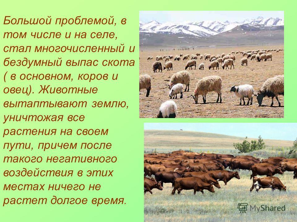 Большой проблемой, в том числе и на селе, стал многочисленный и бездумный выпас скота ( в основном, коров и овец). Животные вытаптывают землю, уничтожая все растения на своем пути, причем после такого негативного воздействия в этих местах ничего не р