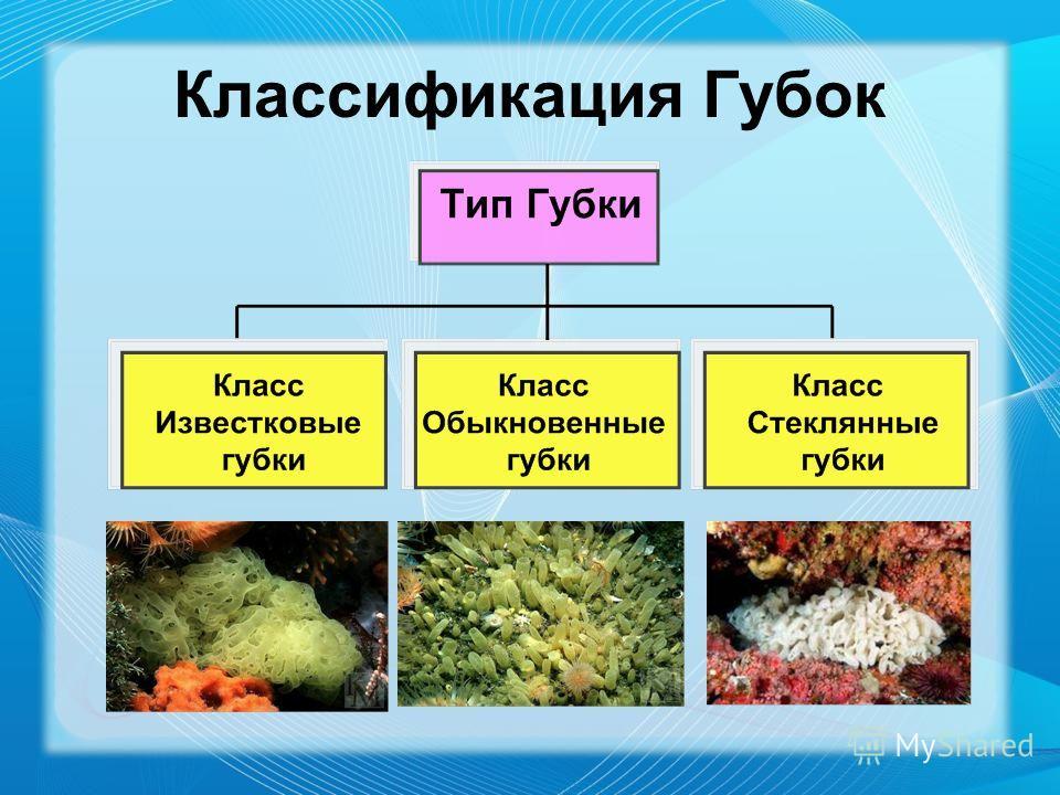 Классификация Губок