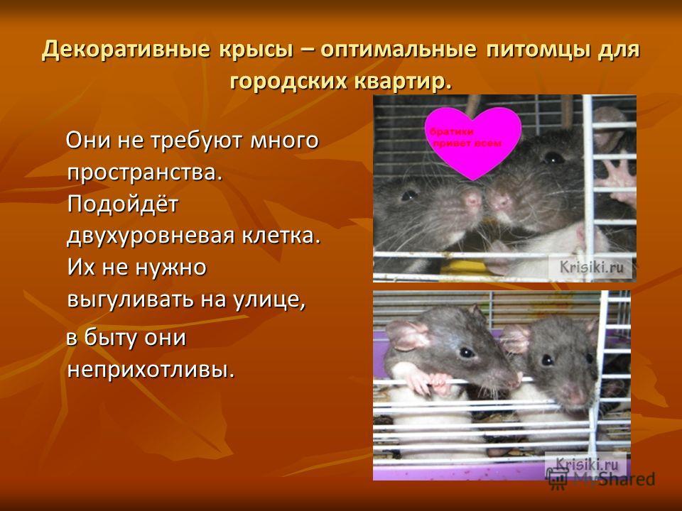 Декоративные крысы – оптимальные питомцы для городских квартир. Они не требуют много пространства. Подойдёт двухуровневая клетка. Их не нужно выгуливать на улице, Они не требуют много пространства. Подойдёт двухуровневая клетка. Их не нужно выгуливат