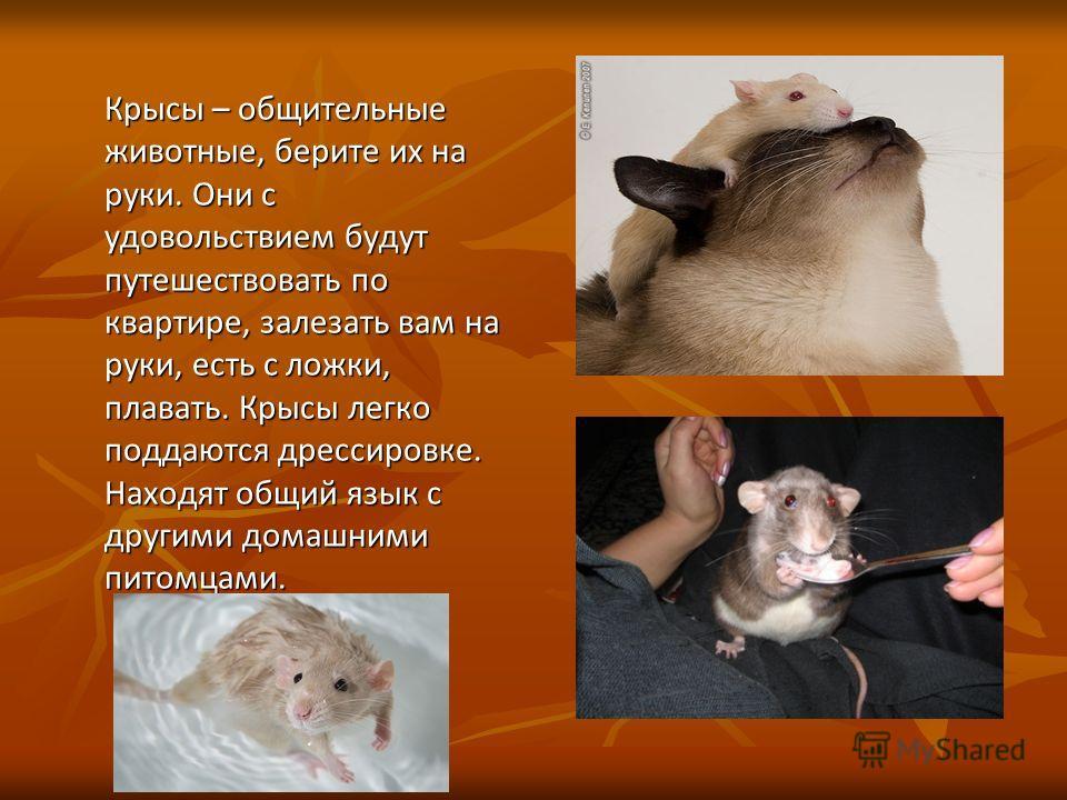 Крысы – общительные животные, берите их на руки. Они с удовольствием будут путешествовать по квартире, залезать вам на руки, есть с ложки, плавать. Крысы легко поддаются дрессировке. Находят общий язык с другими домашними питомцами. Крысы – общительн