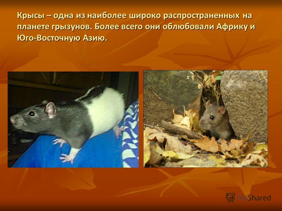 Крысы – одна из наиболее широко распространенных на планете грызунов. Более всего они облюбовали Африку и Юго-Восточную Азию.