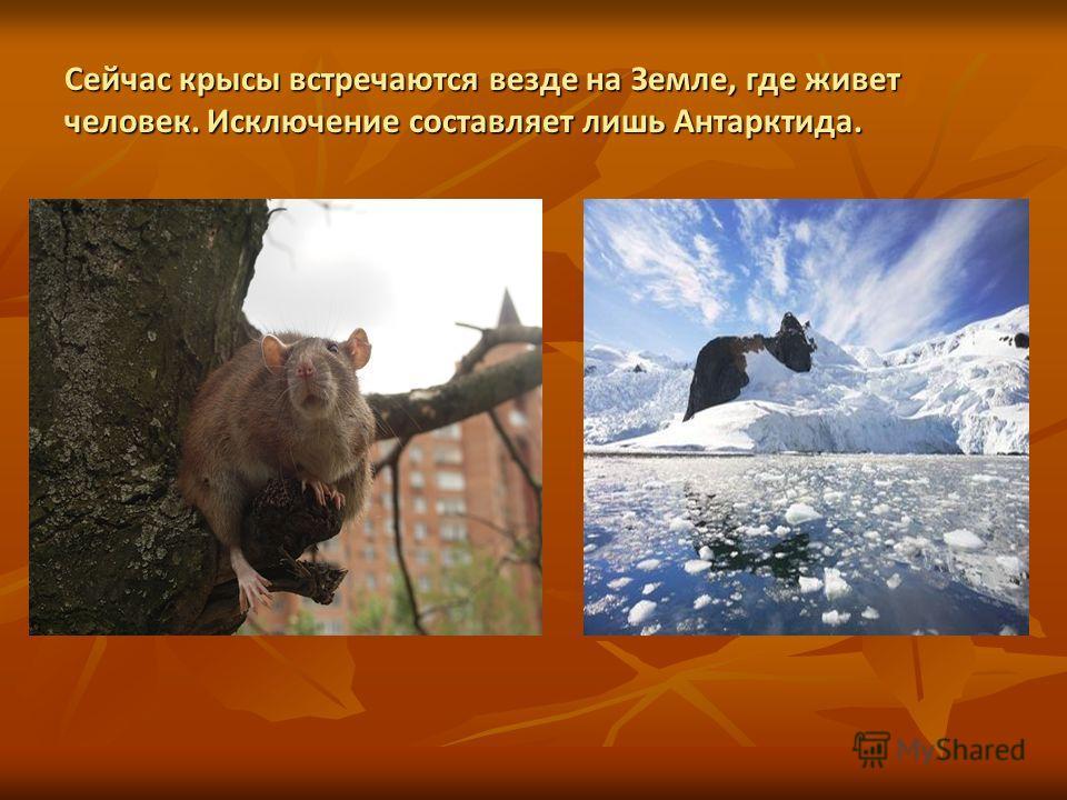 Сейчас крысы встречаются везде на Земле, где живет человек. Исключение составляет лишь Антарктида.
