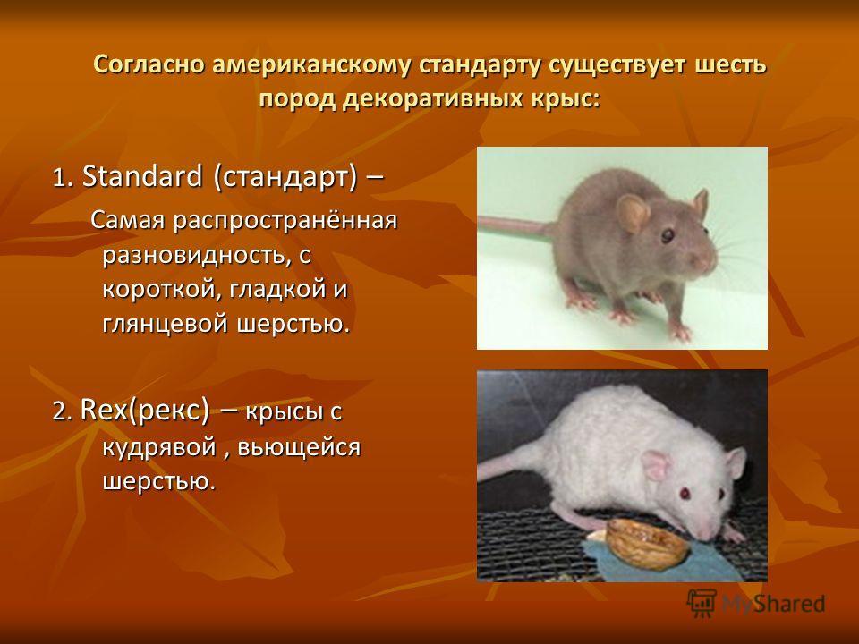 Согласно американскому стандарту существует шесть пород декоративных крыс: 1. Standard (стандарт) – Самая распространённая разновидность, с короткой, гладкой и глянцевой шерстью. Самая распространённая разновидность, с короткой, гладкой и глянцевой ш