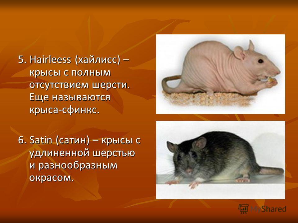 5. Hairleess (хайлисс) – крысы с полным отсутствием шерсти. Еще называются крыса-сфинкс. 6. Satin (сатин) – крысы с удлиненной шерстью и разнообразным окрасом.