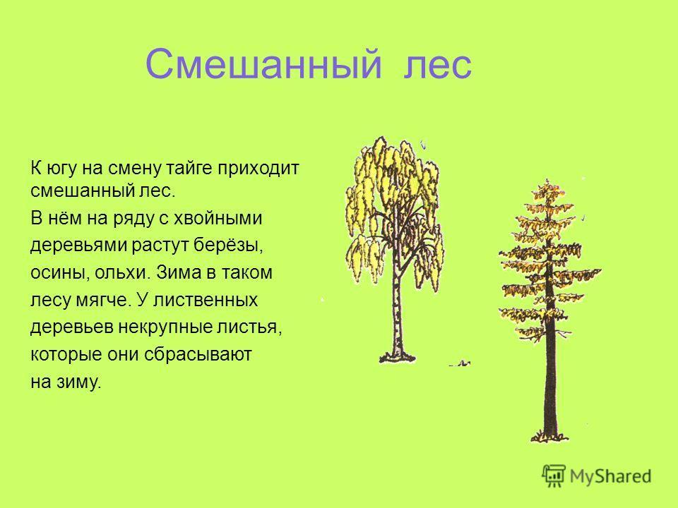 Смешанный лес К югу на смену тайге приходит смешанный лес. В нём на ряду с хвойными деревьями растут берёзы, осины, ольхи. Зима в таком лесу мягче. У лиственных деревьев некрупные листья, которые они сбрасывают на зиму.