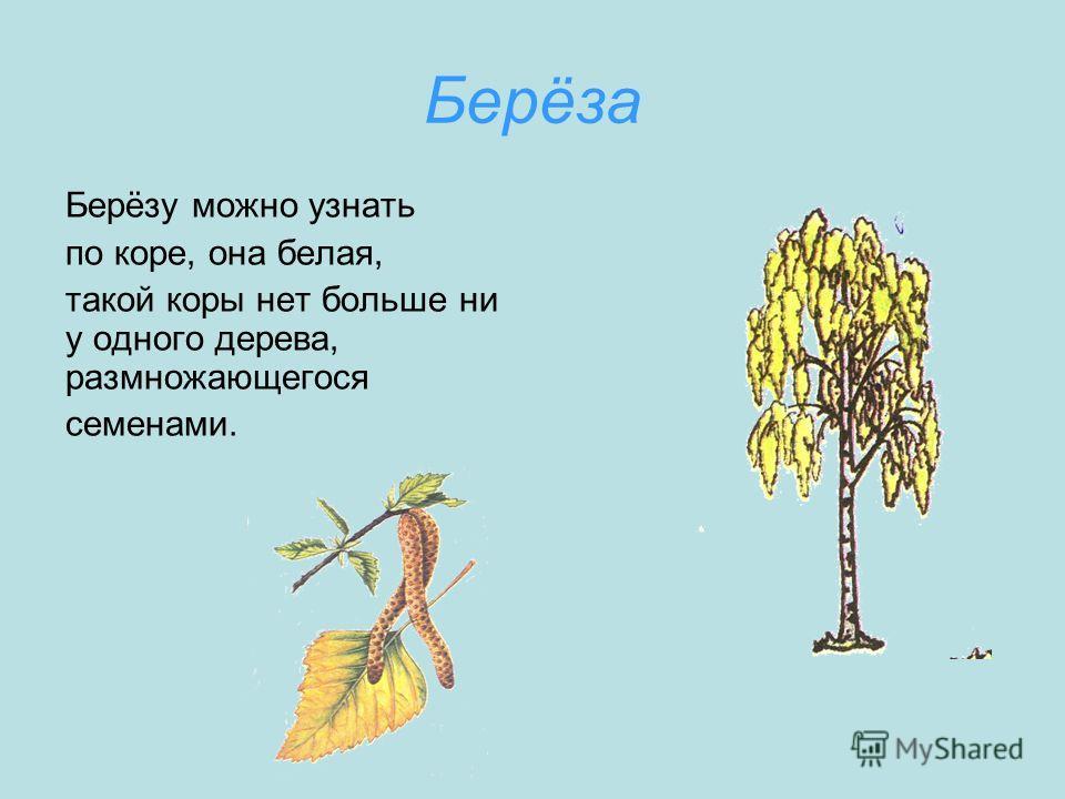 Берёза Берёзу можно узнать по коре, она белая, такой коры нет больше ни у одного дерева, размножающегося семенами.