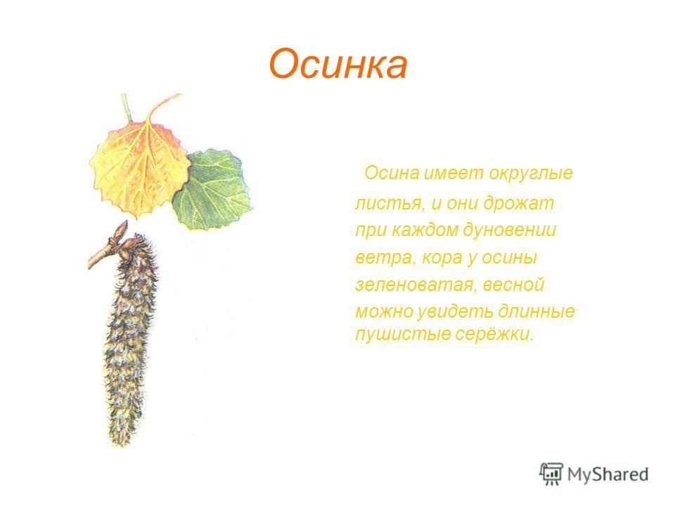 Осинка Осина имеет округлые листья, и они дрожат при каждом дуновении ветра, кора у осины зеленоватая, весной можно увидеть длинные пушистые серёжки.