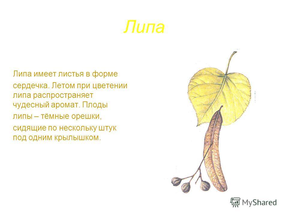 Липа Липа имеет листья в форме сердечка. Летом при цветении липа распространяет чудесный аромат. Плоды липы – тёмные орешки, сидящие по нескольку штук под одним крылышком.