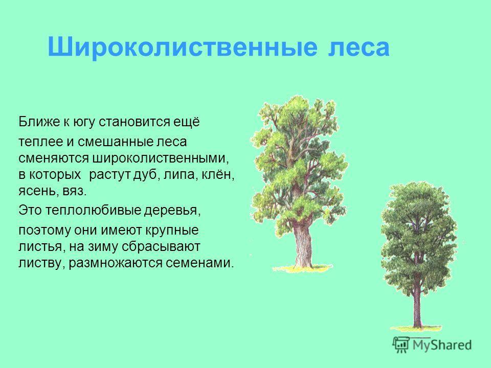 Широколиственные леса Ближе к югу становится ещё теплее и смешанные леса сменяются широколиственными, в которых растут дуб, липа, клён, ясень, вяз. Это теплолюбивые деревья, поэтому они имеют крупные листья, на зиму сбрасывают листву, размножаются се