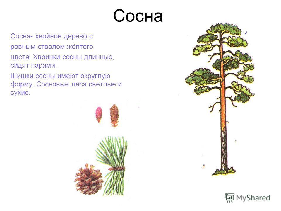Сосна Сосна- хвойное дерево с ровным стволом жёлтого цвета. Хвоинки сосны длинные, сидят парами. Шишки сосны имеют округлую форму. Сосновые леса светлые и сухие.