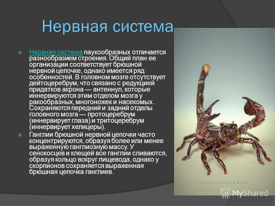 Органы дыхания Органами дыхания служат трахеи (у бихорхов, лжескорпионов, сенокосцев и некоторых клещей) или так называемые легочные мешки (у скорпионов и жгутоногих), иногда те и другие вместе (у пауков); у низших же паукообразных обособленных орган