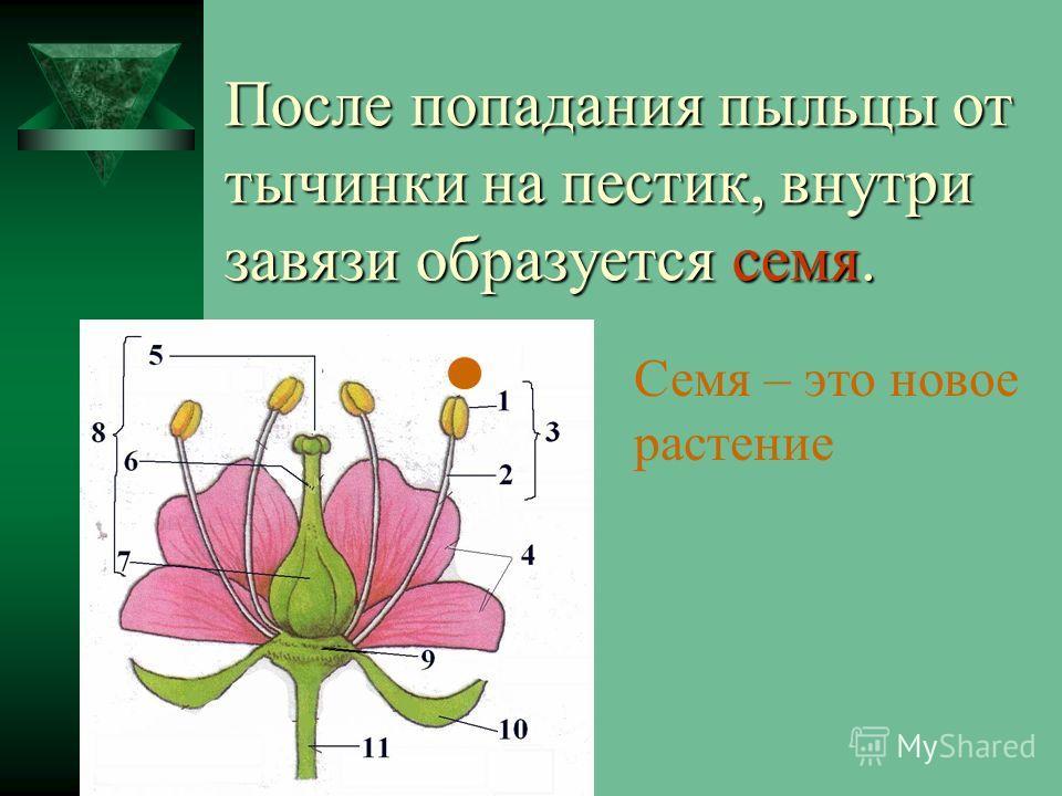 После попадания пыльцы от тычинки на пестик, внутри завязи образуется семя. Семя – это новое растение