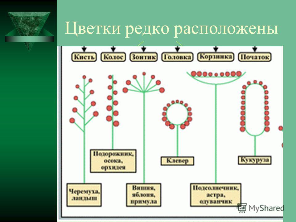 Цветки редко расположены одиночно, чаще они собраны в Соцветия ПростыеСложные