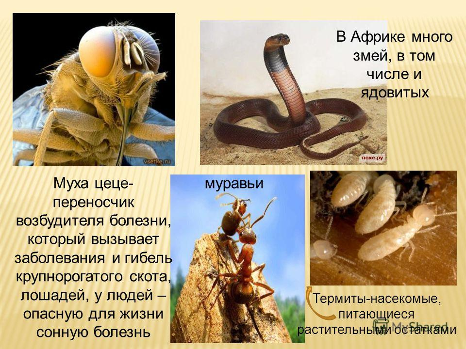 Муха цеце- переносчик возбудителя болезни, который вызывает заболевания и гибель крупнорогатого скота, лошадей, у людей – опасную для жизни сонную болезнь В Африке много змей, в том числе и ядовитых муравьи Термиты-насекомые, питающиеся растительными