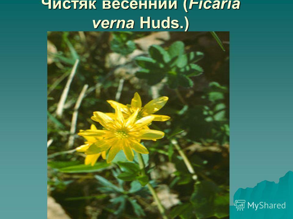Чистяк весенний (Ficaria verna Huds.)