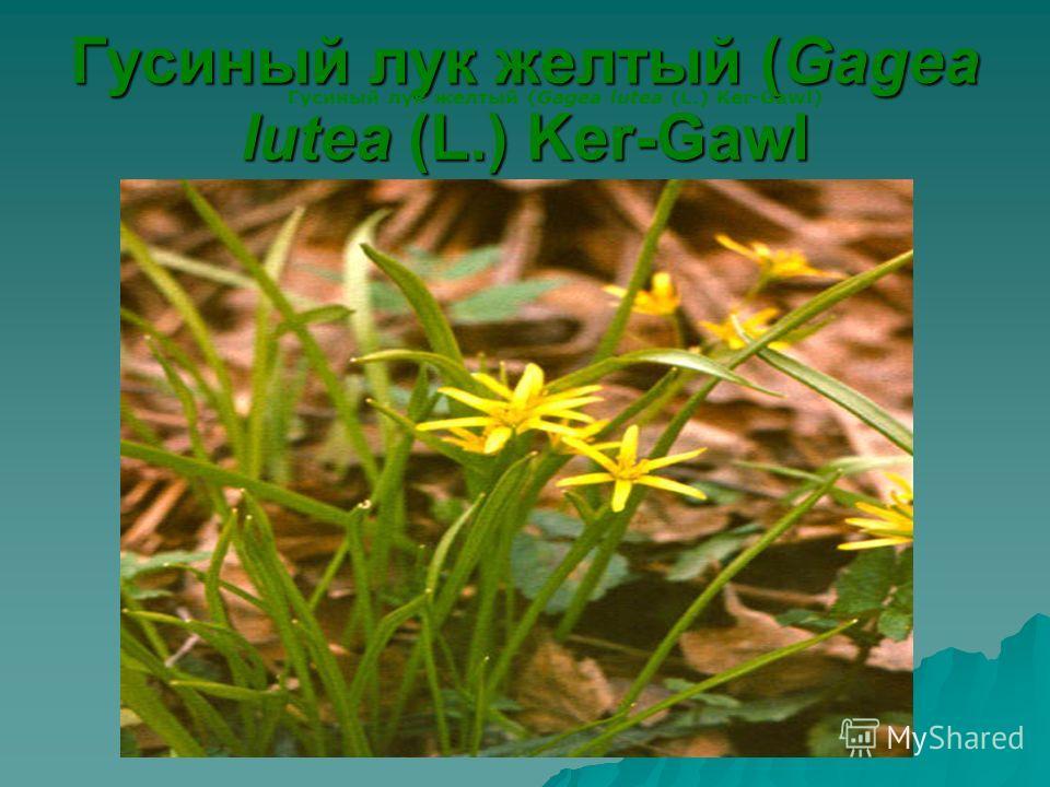 Гусиный лук желтый (Gagea lutea (L.) Ker-Gawl Гусиный лук желтый (Gagea lutea (L.) Ker-Gawl)