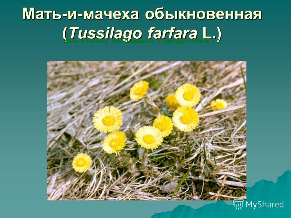 Мать-и-мачеха обыкновенная (Tussilago farfara L.)