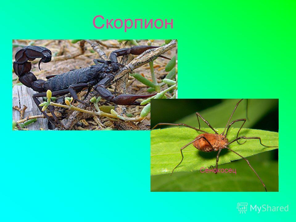 Скорпион Сенокосец