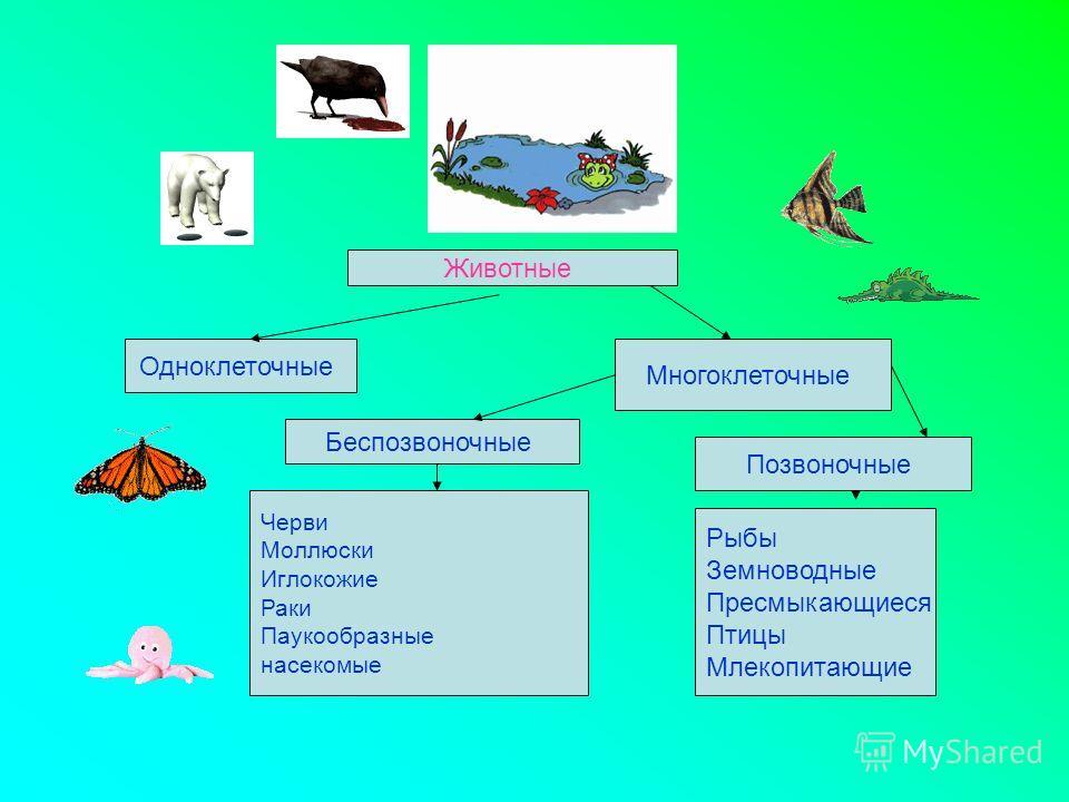 Животные Одноклеточные Многоклеточные Беспозвоночные Черви Моллюски Иглокожие Раки Паукообразные насекомые Позвоночные Рыбы Земноводные Пресмыкающиеся Птицы Млекопитающие