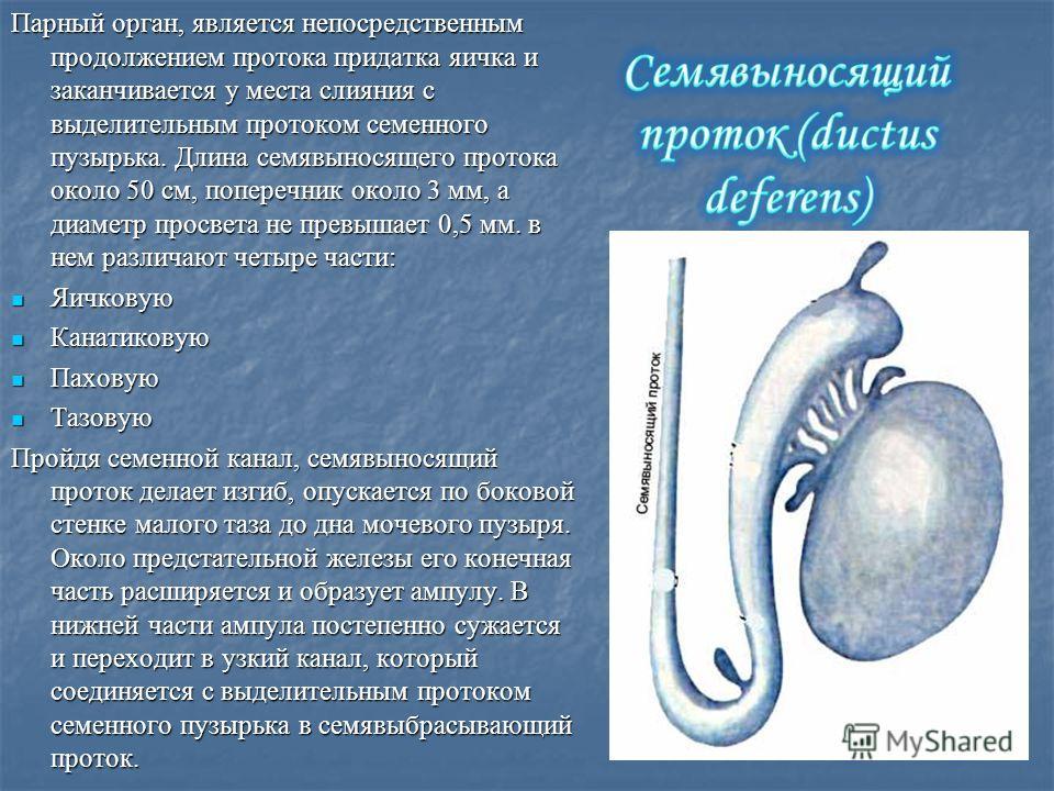 Парный орган, является непосредственным продолжением протока придатка яичка и заканчивается у места слияния с выделительным протоком семенного пузырька. Длина семявыносящего протока около 50 см, поперечник около 3 мм, а диаметр просвета не превышает