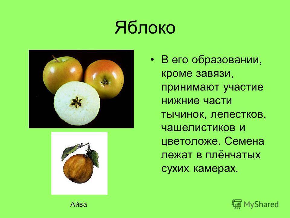 Яблоко В его образовании, кроме завязи, принимают участие нижние части тычинок, лепестков, чашелистиков и цветоложе. Семена лежат в плёнчатых сухих камерах. Айва