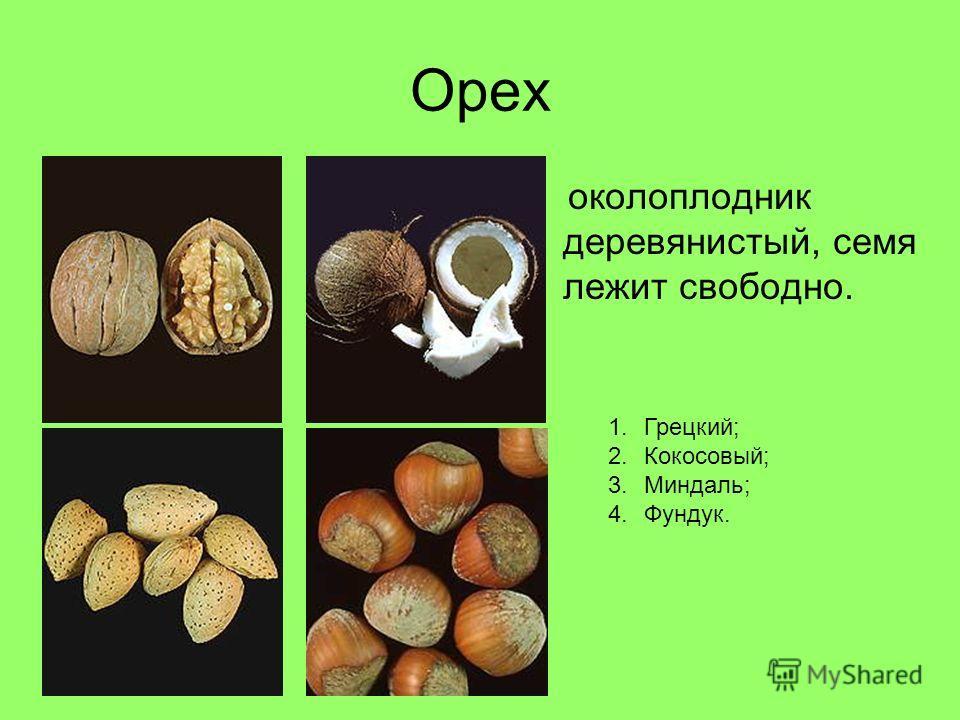 Орех околоплодник деревянистый, семя лежит свободно. 1.Грецкий; 2.Кокосовый; 3.Миндаль; 4.Фундук.
