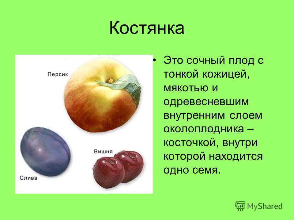 Костянка Это сочный плод с тонкой кожицей, мякотью и одревесневшим внутренним слоем околоплодника – косточкой, внутри которой находится одно семя.