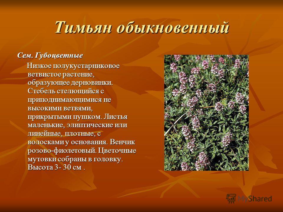 Тимьян обыкновенный Сем. Губоцветные Низкое полукустарниковое ветвистое растение, образующее дерновинки. Стебель стелющийся с приподнимающимися не высокими ветвями, прикрытыми пушком. Листья маленькие, элиптические или линейные, плотные, с волосками