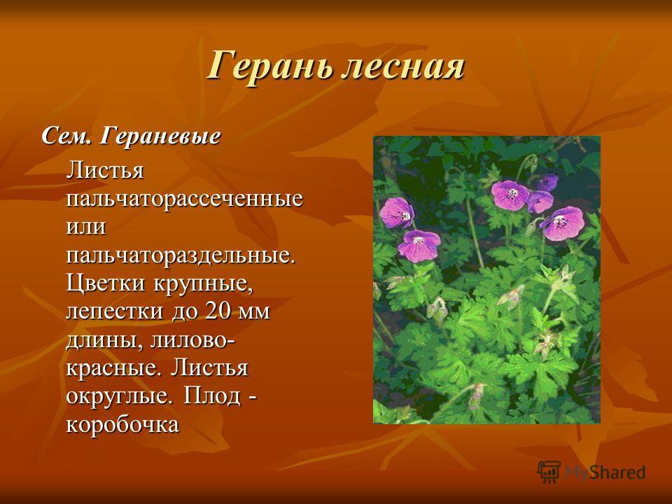 Герань лесная Сем. Гераневые Листья пальчаторассеченные или пальчатораздельные. Цветки крупные, лепестки до 20 мм длины, лилово- красные. Листья округ