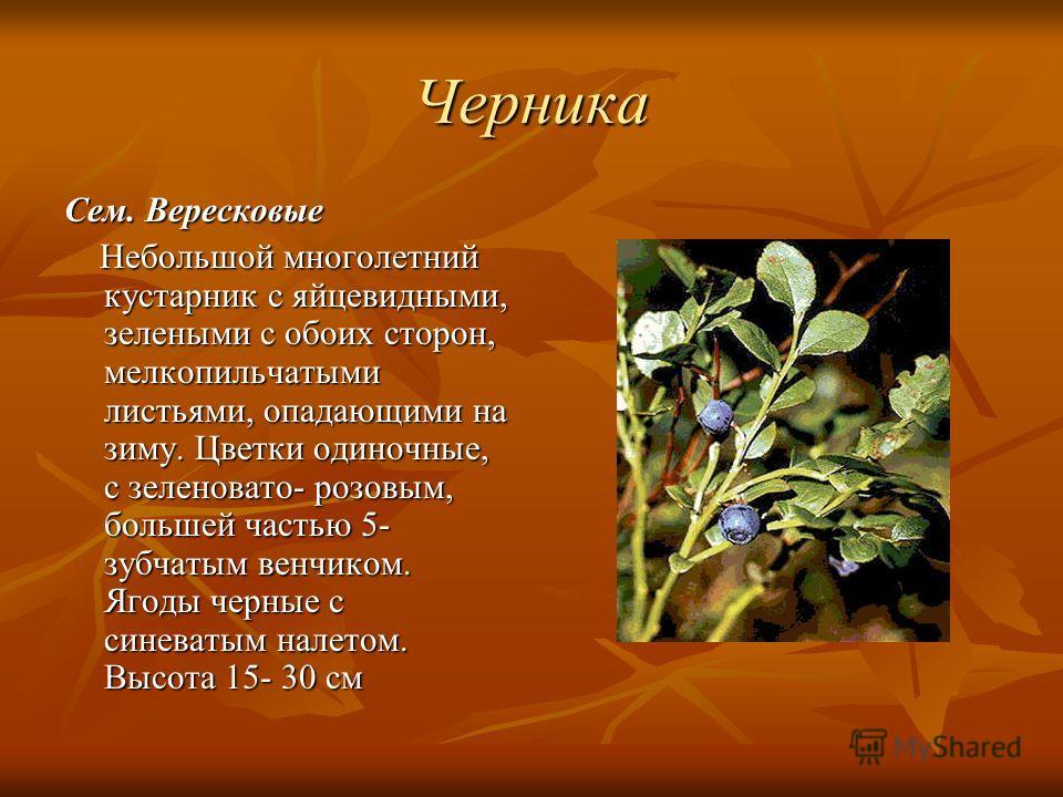 Черника Сем. Вересковые Небольшой многолетний кустарник с яйцевидными, зелеными с обоих сторон, мелкопильчатыми листьями, опадающими на зиму. Цветки о