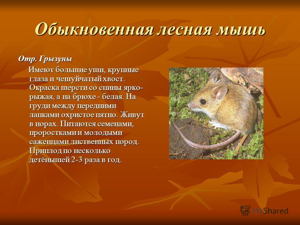 Обыкновенная лесная мышь Отр. Грызуны Имеют большие уши, крупные глаза и чешуйчатый хвост. Окраска шерсти со спины ярко- рыжая, а на брюхе - белая. На