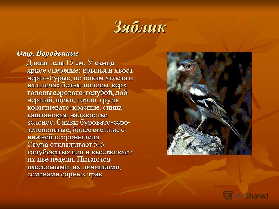Зяблик Отр. Воробьиные Длина тела 15 см. У самца яркое оперение: крылья и хвост черно-бурые, по бокам хвоста и на плечах белые полосы, верх головы сер