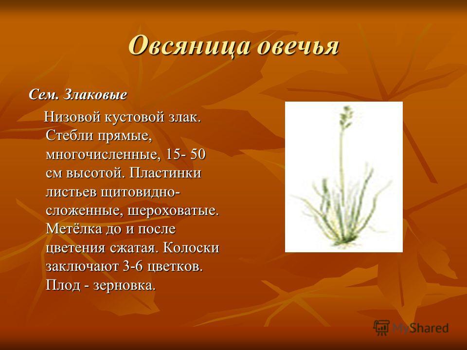 Овсяница овечья Сем. Злаковые Низовой кустовой злак. Стебли прямые, многочисленные, 15- 50 см высотой. Пластинки листьев щитовидно- сложенные, шероховатые. Метёлка до и после цветения сжатая. Колоски заключают 3-6 цветков. Плод - зерновка. Низовой ку