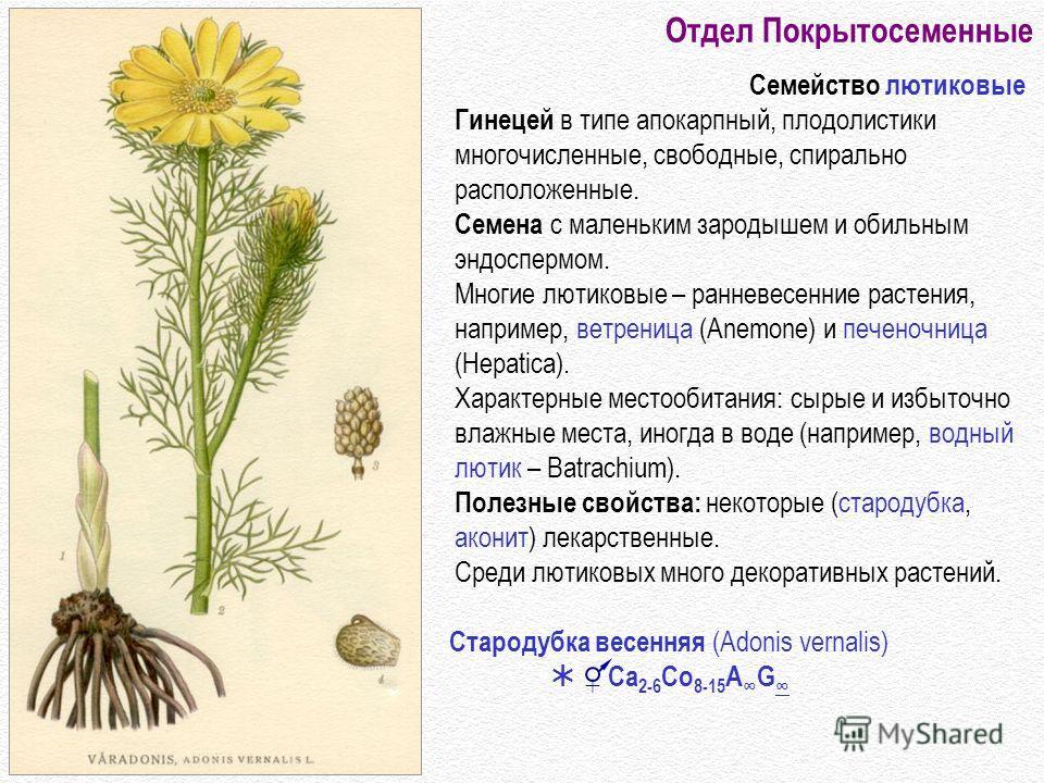 Отдел Покрытосеменные Семейство лютиковые Гинецей в типе апокарпный, плодолистики многочисленные, свободные, спирально расположенные. Семена с маленьким зародышем и обильным эндоспермом. Многие лютиковые – ранневесенние растения, например, ветреница