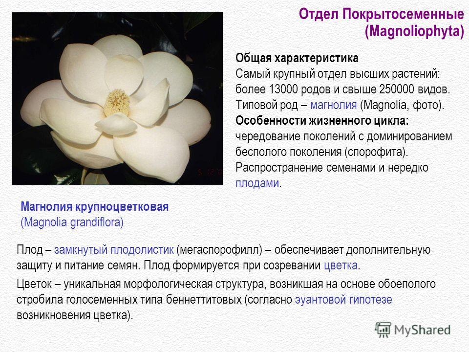 Отдел Покрытосеменные (Magnoliophyta) Плод – замкнутый плодолистик (мегаспорофилл) – обеспечивает дополнительную защиту и питание семян. Плод формируется при созревании цветка. Цветок – уникальная морфологическая структура, возникшая на основе обоепо