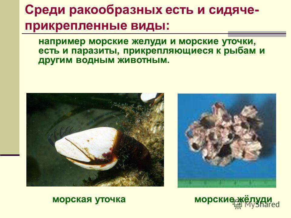 например морские желуди и морские уточки, есть и паразиты, прикрепляющиеся к рыбам и другим водным животным. морские жёлудиморская уточка Среди ракообразных есть и сидяче- прикрепленные виды: