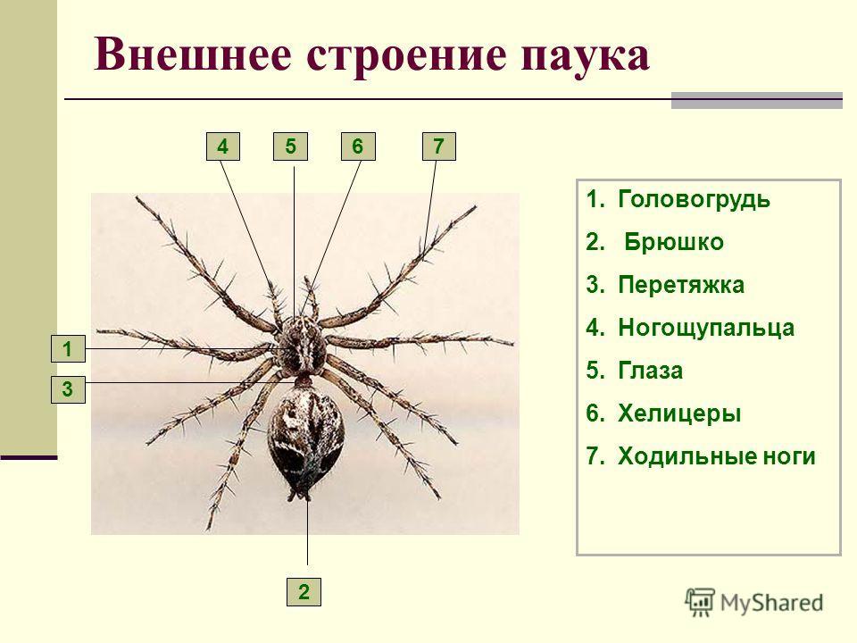 Внешнее строение паука 1.Головогрудь 2. Брюшко 3.Перетяжка 4.Ногощупальца 5.Глаза 6.Хелицеры 7.Ходильные ноги 1 2 3 4567