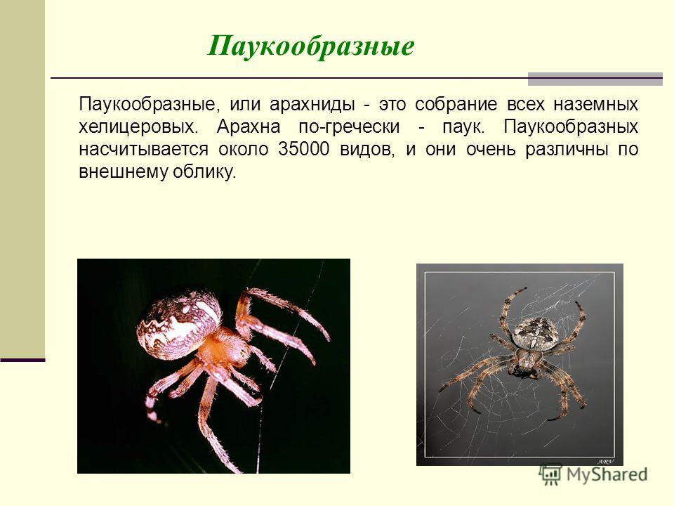Паукообразные Паукообразные, или арахниды - это собрание всех наземных хелицеровых. Арахна по-гречески - паук. Паукообразных насчитывается около 35000 видов, и они очень различны по внешнему облику.