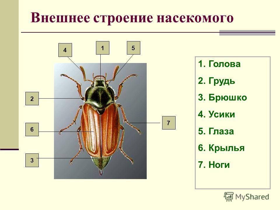 Внешнее строение насекомого 1.Голова 2.Грудь 3.Брюшко 4.Усики 5.Глаза 6.Крылья 7.Ноги 7 2 6 3 5 4 1