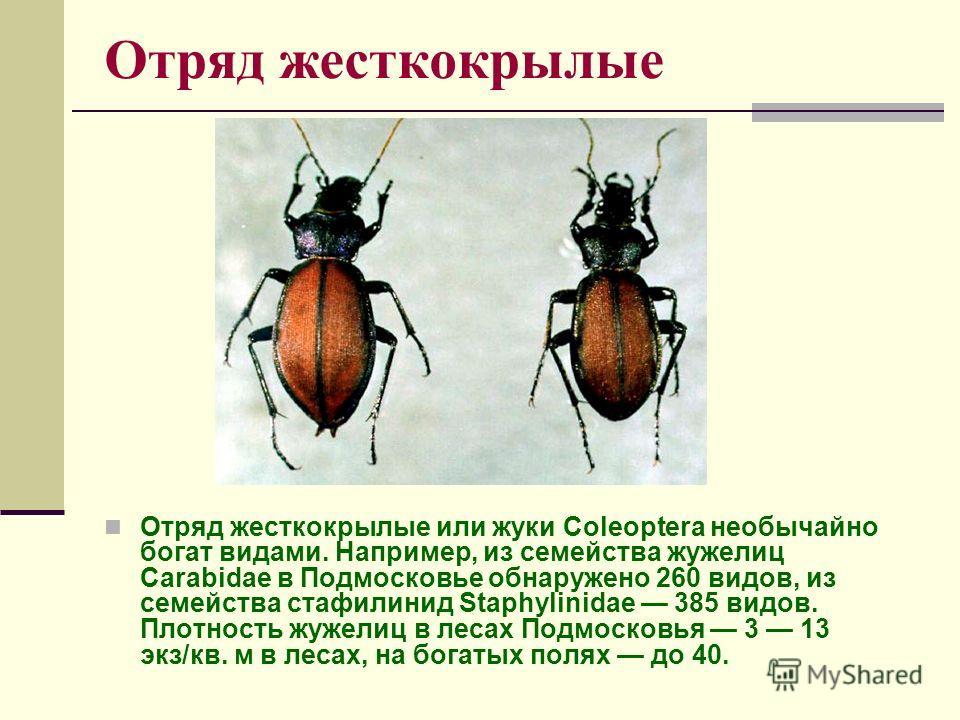 Отряд жесткокрылые Отряд жесткокрылые или жуки Coleoptera необычайно богат видами. Например, из семейства жужелиц Carabidae в Подмосковье обнаружено 260 видов, из семейства стафилинид Staphylinidae 385 видов. Плотность жужелиц в лесах Подмосковья 3 1