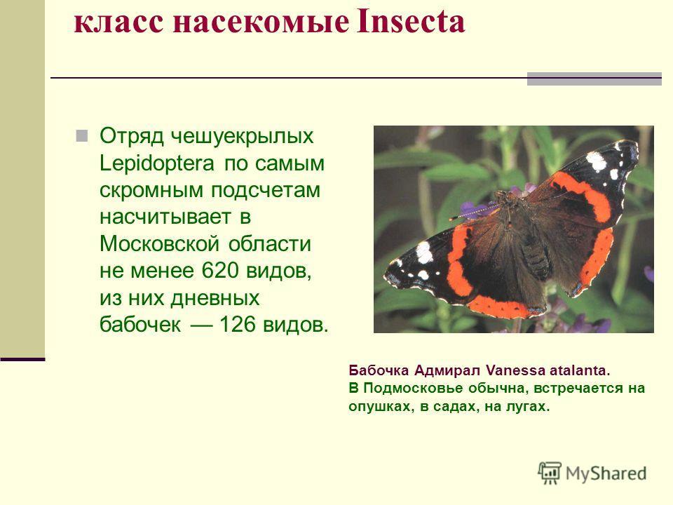 класс насекомые Insecta Отряд чешуекрылых Lepidoptera по самым скромным подсчетам насчитывает в Московской области не менее 620 видов, из них дневных бабочек 126 видов. Бабочка Адмирал Vanessa atalanta. В Подмосковье обычна, встречается на опушках, в