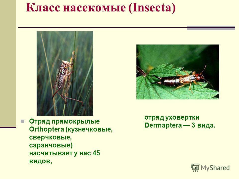 Класс насекомые (Insecta) Отряд прямокрылые Orthoptera (кузнечковые, сверчковые, саранчовые) насчитывает у нас 45 видов, отряд уховертки Dermaptera 3 вида.