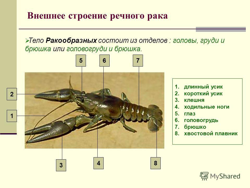 Внешнее строение речного рака Тело Ракообразных состоит из отделов : головы, груди и брюшка или головогруди и брюшка. 1.длинный усик 2.короткий усик 3.клешня 4.ходильные ноги 5.глаз 6.головогрудь 7.брюшко 8.хвостовой плавник 1 2 8 765 4 3