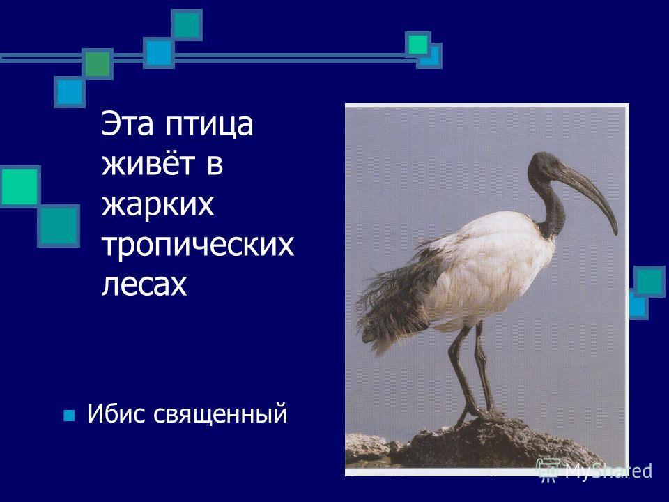 Эта птица живёт в жарких тропических лесах Ибис священный
