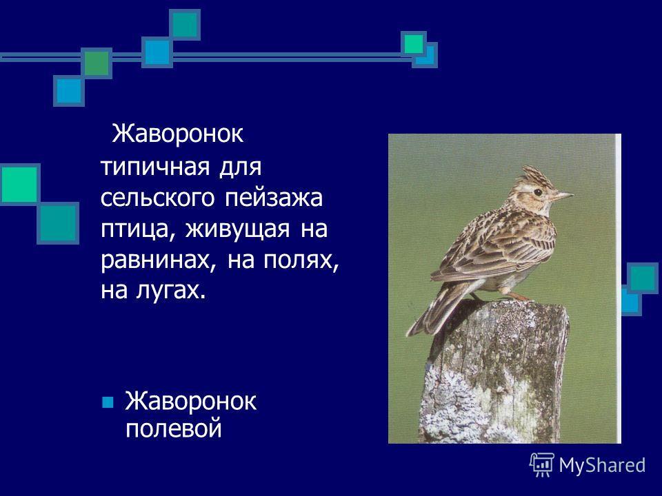 Жаворонок типичная для сельского пейзажа птица, живущая на равнинах, на полях, на лугах. Жаворонок полевой